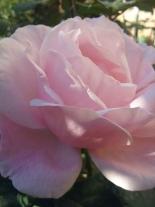 roza de mai