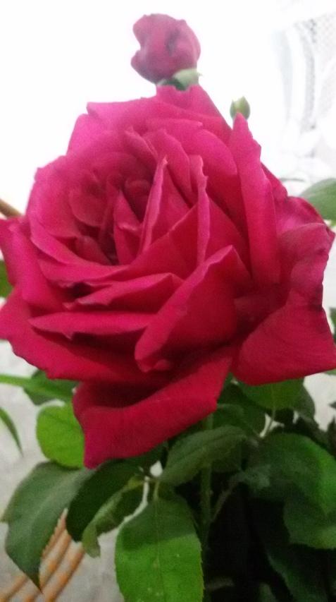 Trandafir de noiembrie