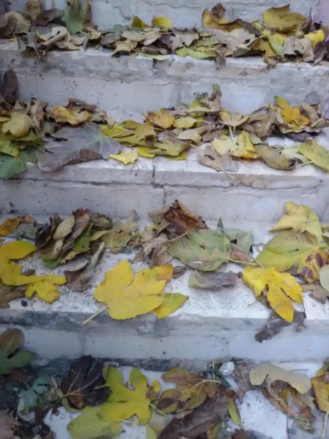cad frunzele de smochin