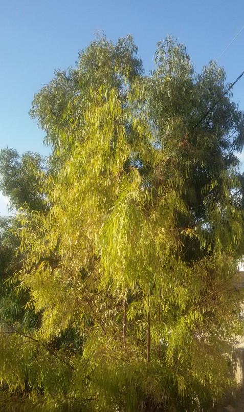 Vîntul îndoaie eucaliptul ,uneori oftează,are și el rănile lui care poate il dor dar frunzele nu se despart niciodată de el ,de copacul zvelt și frumos.