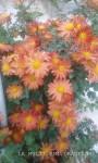 mici crizanteme2